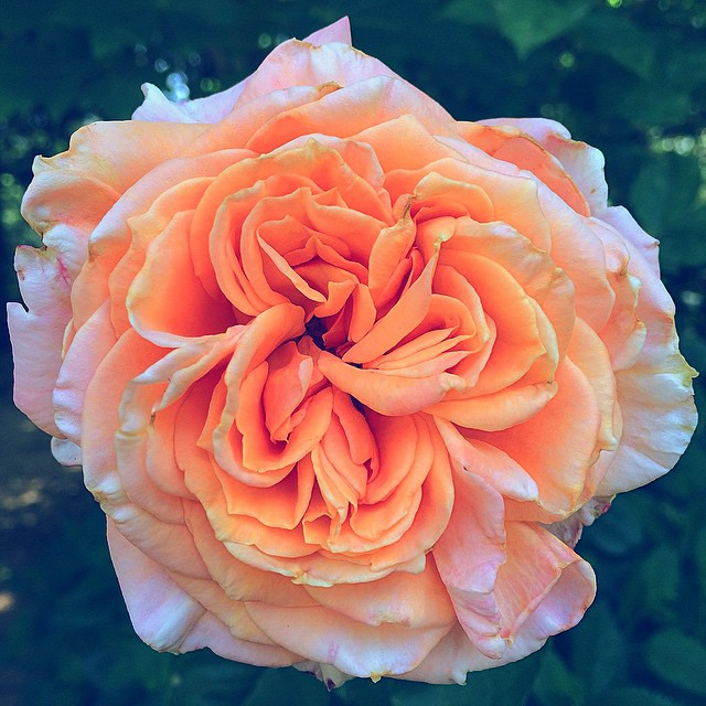 Our roses all opened today! Great way to start June. #rosegarden #peachrose #floweressences #dreamyard #rosemedicine